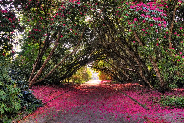 Archway of rhododendrons known as Ladies Walk on the Tregothnan Estate