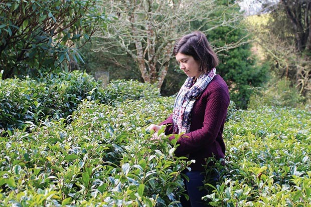 Sarah Orme picks tea at Tregothnan