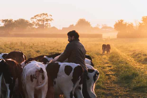 Feeding the heifers