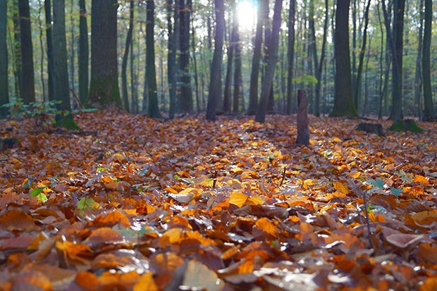 A blanket of autumn leaves on the forest floor