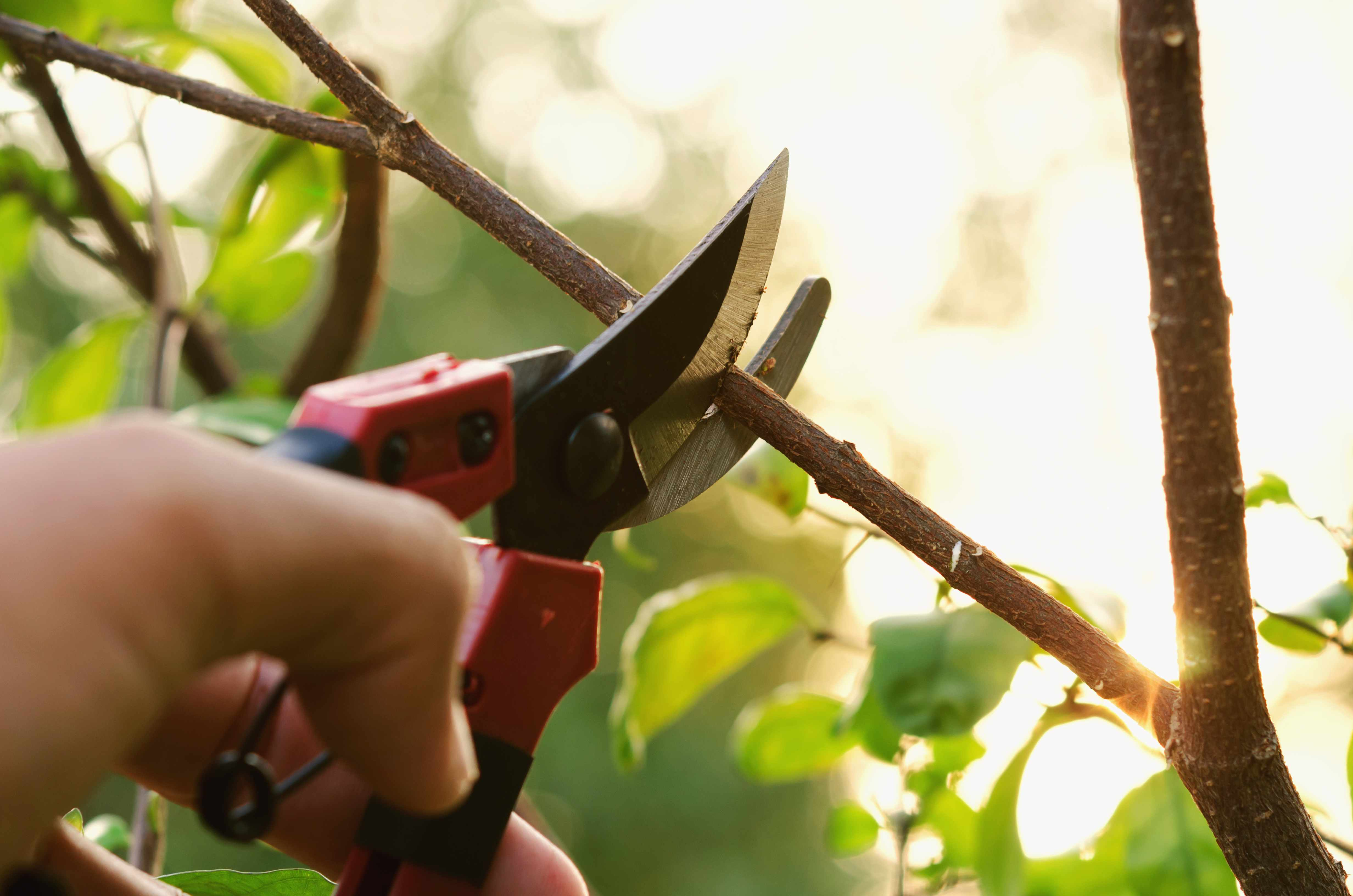 hand pruning tree and pruning shear in garden with sunset background