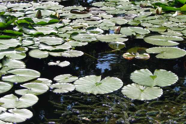 Lily pads sitting on the surface of a pond. Duckweed can be seen just below the surface.