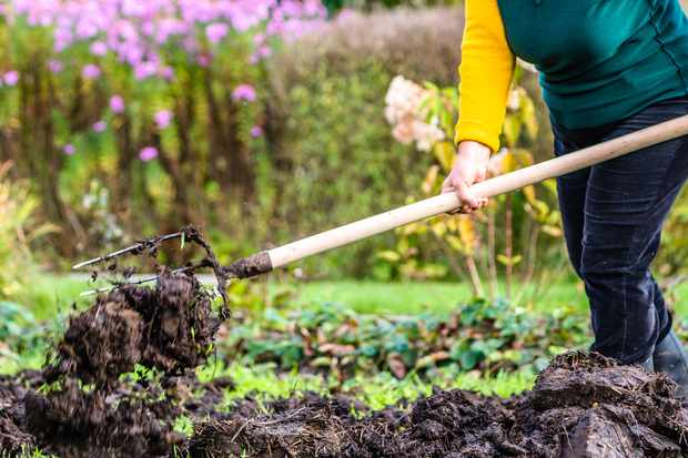 Gardener adds a forkful of manure to a bed being prepared for spring planting
