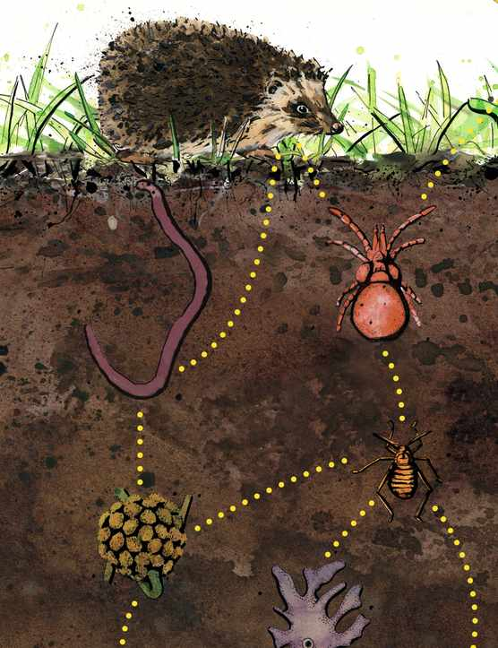 An illustration of the soil food chain from organic matter and bacteria to animals