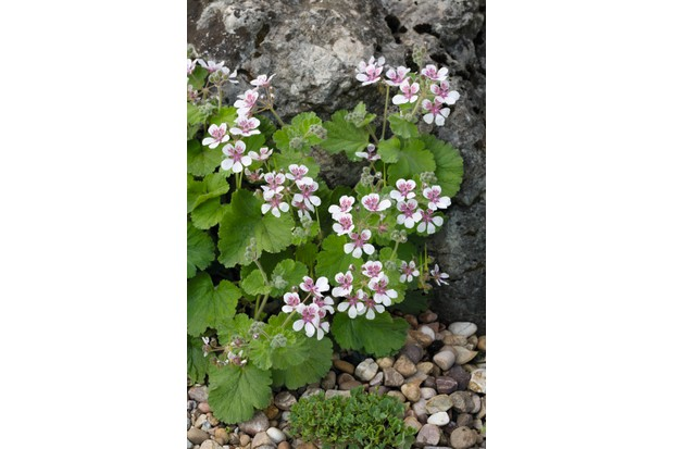 Erodium trifolium syn. Erodium pelargoniflorum, a group of pretty little purple and white flowers on mounds of rounded leaves