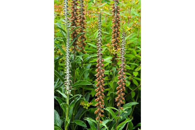 Digitalis parviflora, a small-flowered foxglove bears perfectly vertical rusty-brown spears