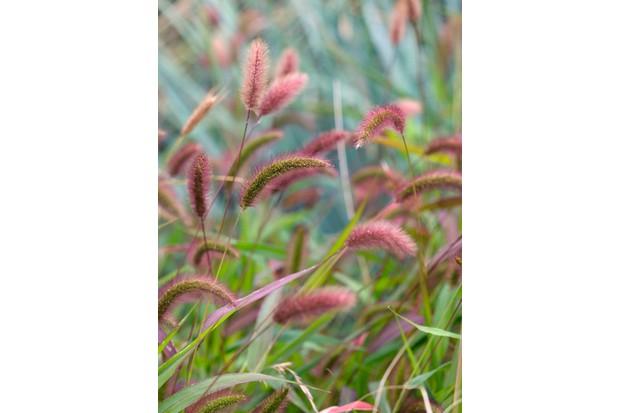 Setaria viridis, a green bristle grass