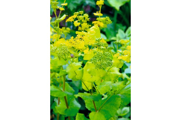 Smyrnium perfoliatum in yellowy green shade