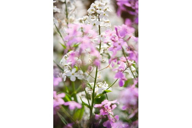 Hesperis matronalis, is a pretty annual, bearing white or purple flowers similar to honesty