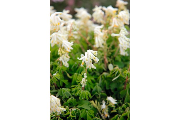 Corydalis ochroleuca, creamy white flowers cover a delicate mound of filigreed gray-green foliage.