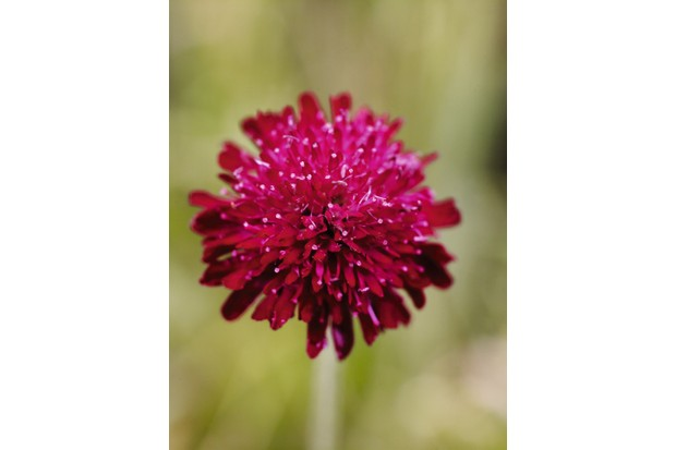 Knautia macedonica is a herbaceous perennial with pinnately lobed basal leaves and simple or lobed stem leaves, with a succession of deep crimson flower-heads