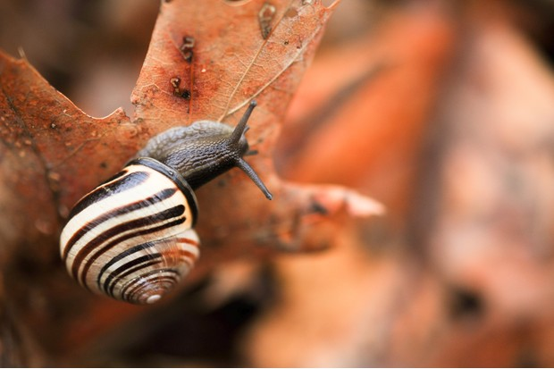 snail with a striped shell moving over dry leaves