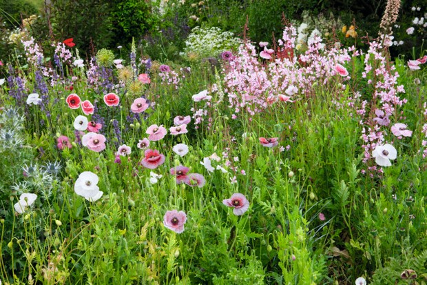 A strain of the wild corn poppy 'Papaver rhoeas' Mother of Pearl Group in Subtle grey, lavender, pink and white