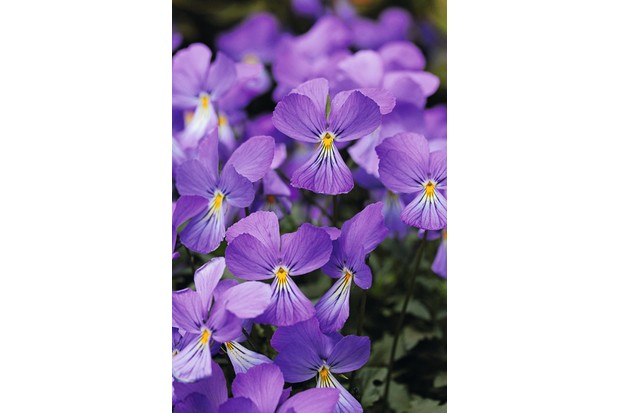 Viola corsica, a group of large flowers in a lovely deep violet-blue with a soft small yellow centred middle