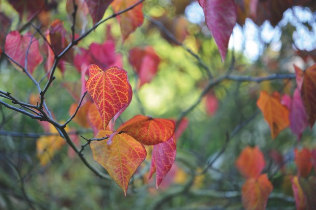 Cercis canadensis 'Forest Pansy'. Photo by Jason Ingram