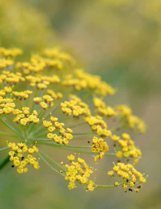 Flower fennel