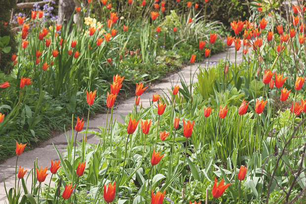 The highly scented Tulipa 'Ballerina' comes in shades of warm orange and is a perfect addition to a spring border