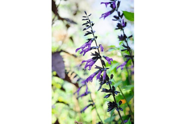 Salvia 'Amistad'. Photo Jason Ingram