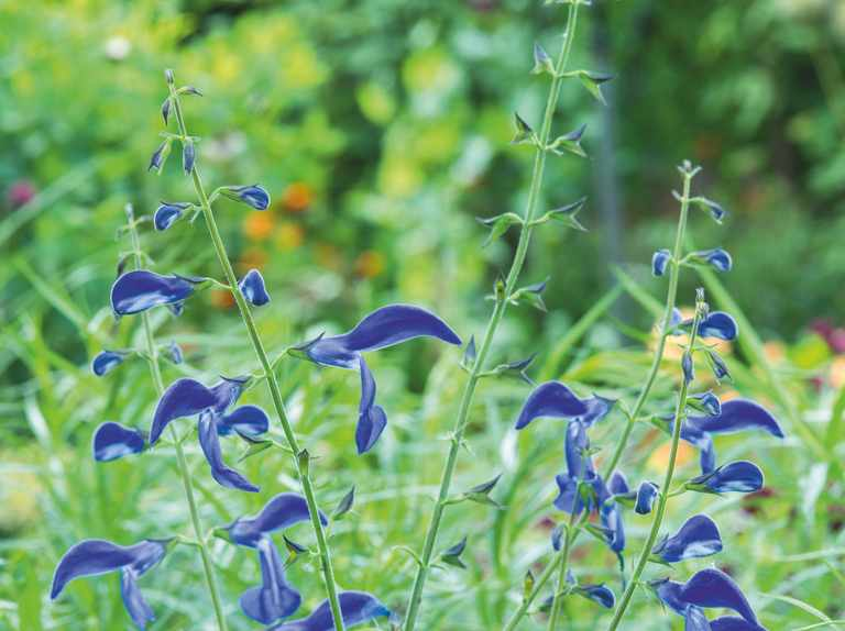 9 of the best salvias great for late season colour