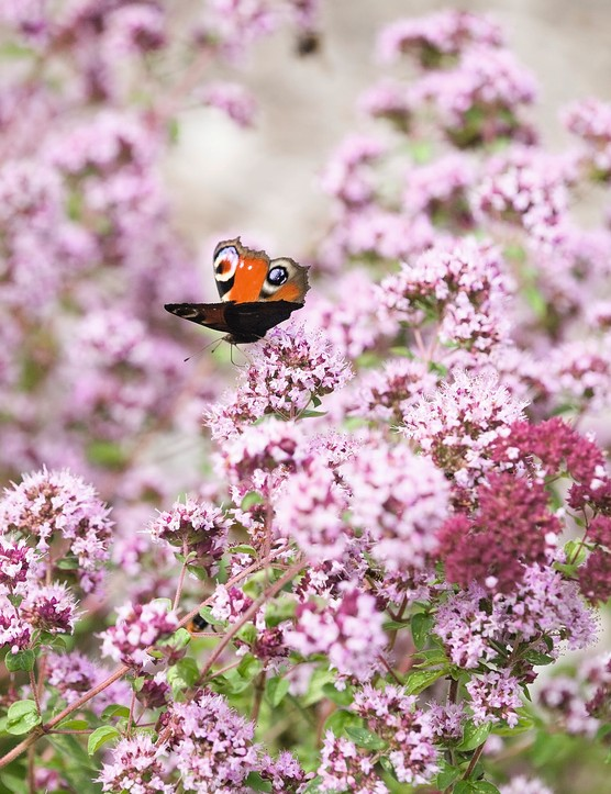 Oregano (Origanum vulgare) flowers with butterfly
