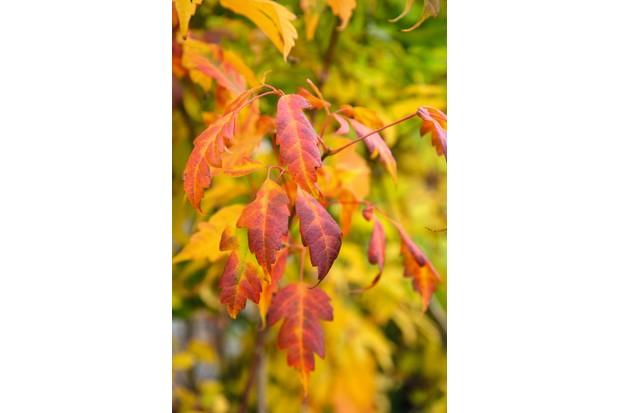 Acer cissifolium