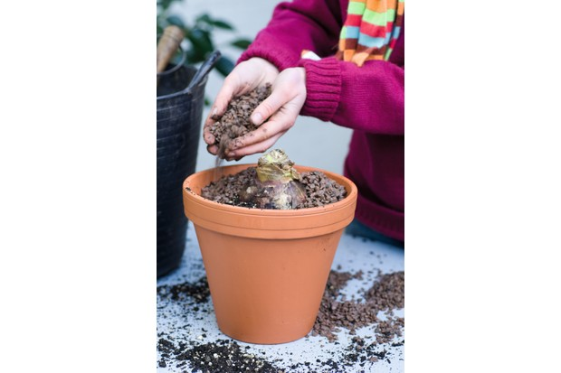 A planted hippeastrum bulb and soil in a terracotta pot