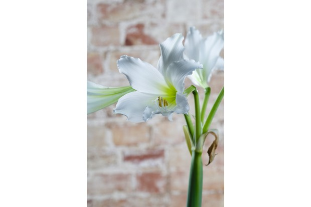 Amputo Amaryllis has a tall stem with an elegant white flower which resembles a lily