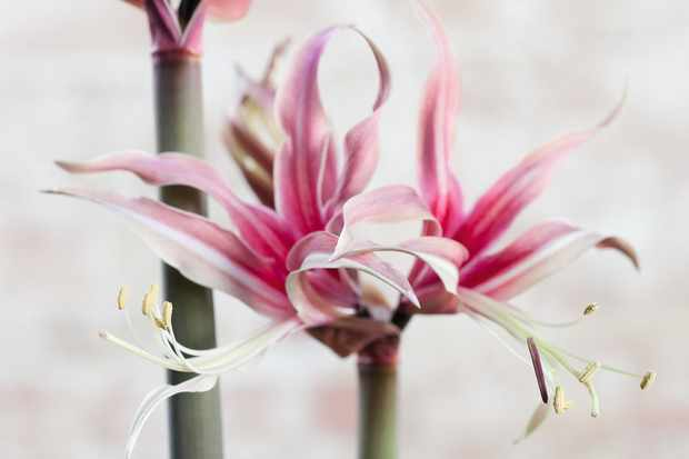Rosario Amaryllis has unusual soft pink colour streaks making up its spidery petals