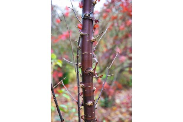 Prunus serrula 'Branklyn'