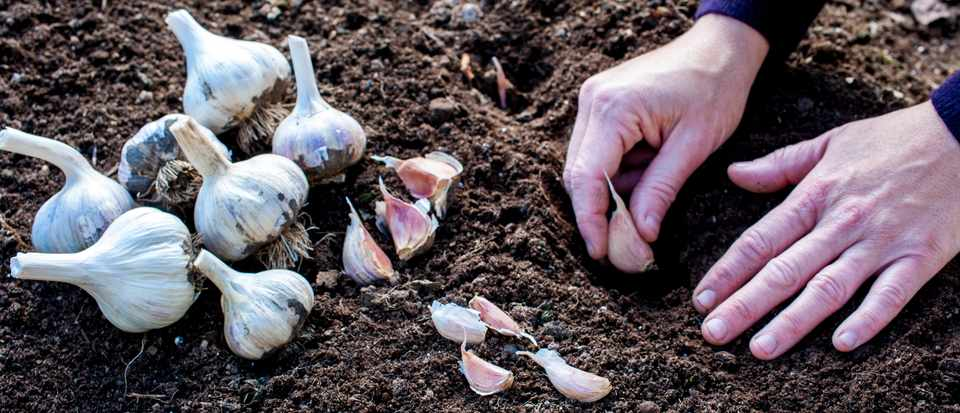 Planting garlic cloves. Getty Images.