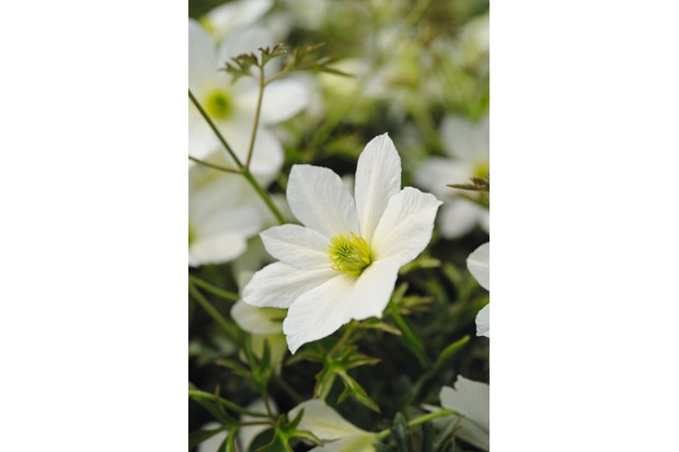 Best winter flowering clematis gardens illustrated clematis early sensation mightylinksfo