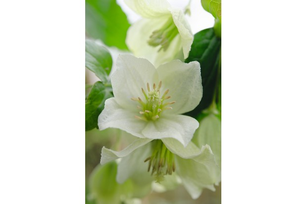 A photo of Clematis cirrhosa 'Wisley Cream'
