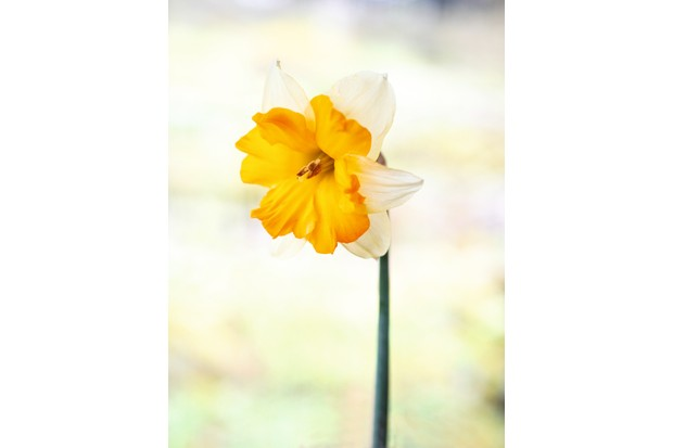 """Narzissen (Narcissus) """"Centanne"""" has petals varying from ivory white to a creamy yellow and an orange glowing trumpet"""