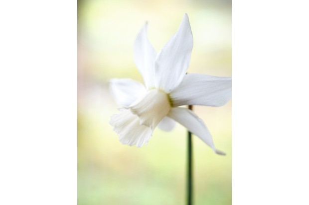 """Narzisse, Alpenveilchennarzisse (Narcissus) """"Jenny"""" has linear leaves with a creamy-white trumpet flower head"""