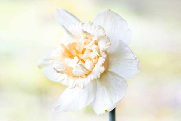 """Narzissen, gefülltblühend (Narcissus) """"Petit four"""" has elegant double with a creamy-white wreath of petals around an apricot-coloured trumpet."""
