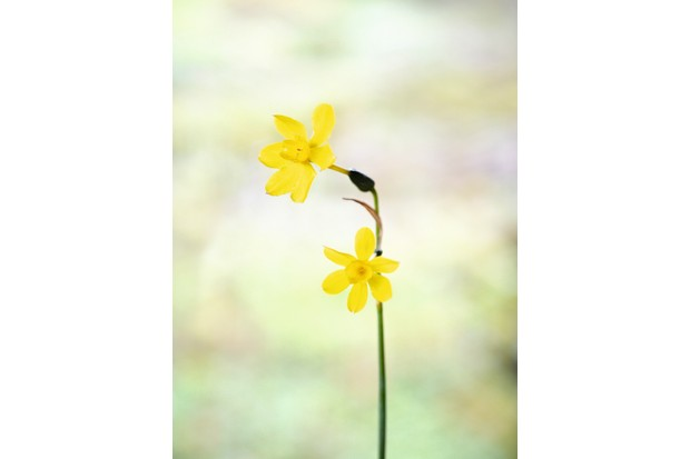 """Narzissen (Narcissus) """"New Baby"""" have miniature flower heads with white petals edged with yellow surround a deep yellow cup"""