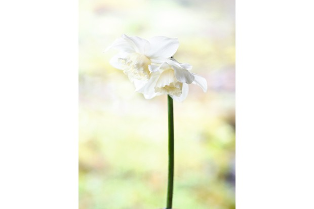 """Narzissen (Narcissus) """"Bergigrange"""" has a creamy-white double head with slightly crinkled petals bowing over"""