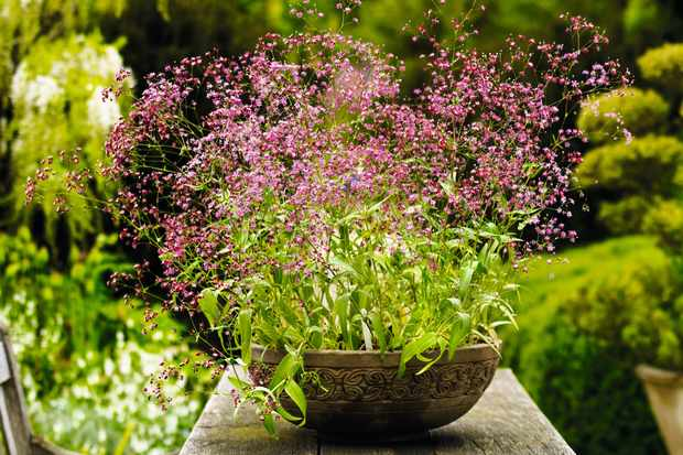 A large elevated bowl is filled with splaying Gypsophila elegans 'Kermesina creating an enchanting display of soft pink flower heads