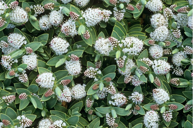 Hebe albicans is a dense shrub with matt grey-green foliage and short white flower spikes