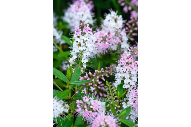 'Nicola's Blush' is a rounded evergreen shrub with lance-shaped leaves and racemes of magenta-pink flowers fading to white.