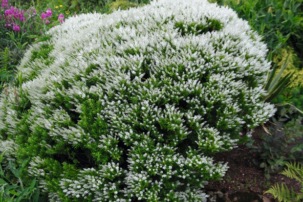 A rounded bushy evergreen shrub with small white flowers