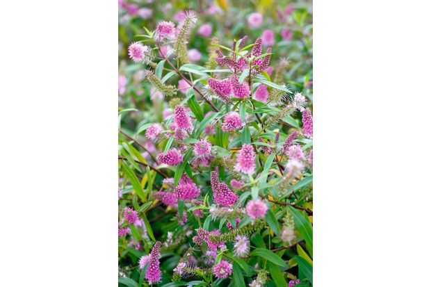 A compact evergreen shrub with upright pointed flower spikes in small bright pink