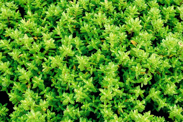 A compact rounded evergreen shrub with small bright green leaves.