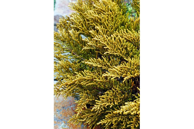 A robust garden plant with unusual yellow-toned 'whipcord' foliage and low-spreading habit.