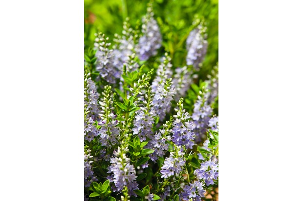Hebe 'Margret' is a compact evergreen shrub with bright green foliage and light purple flowers