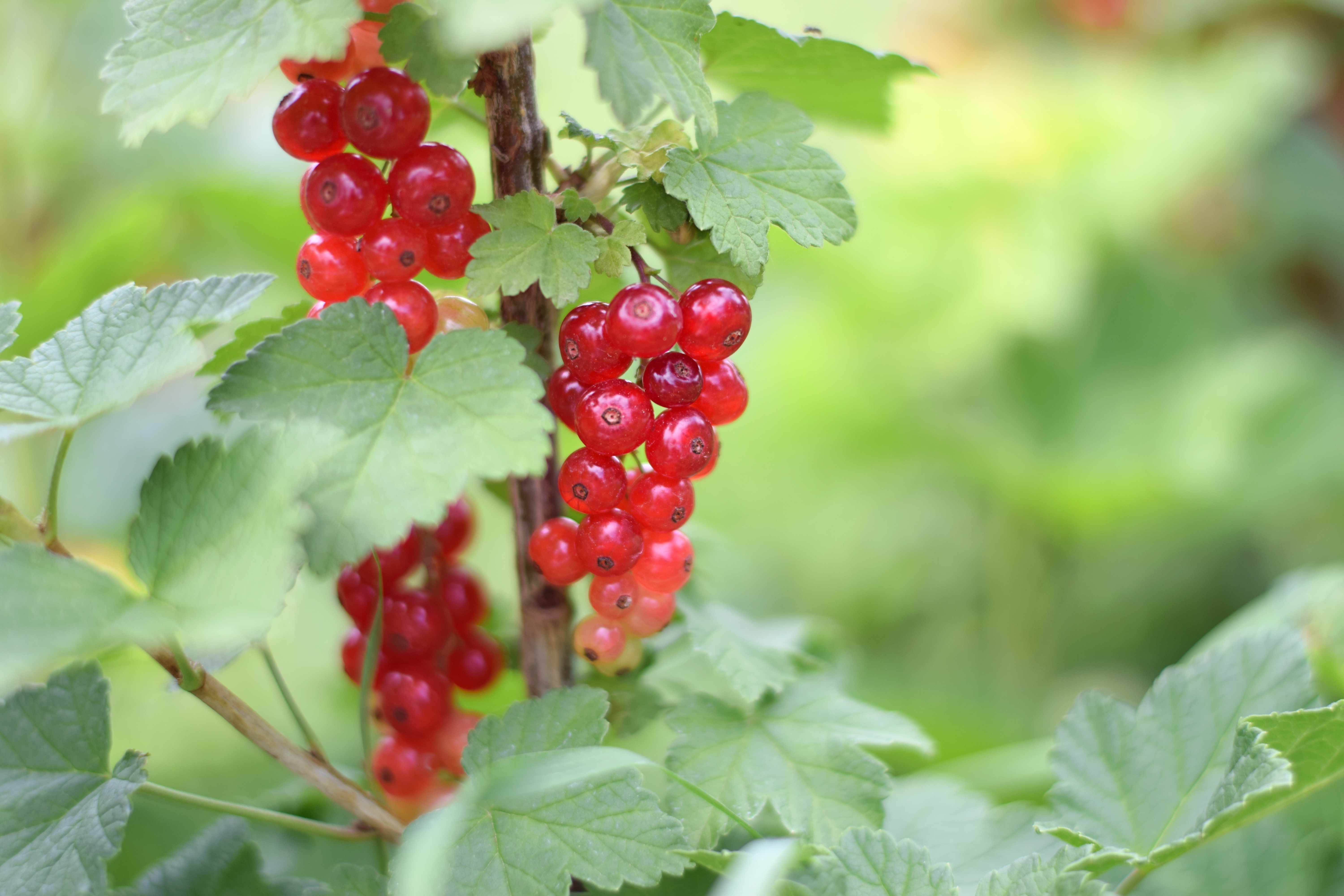 Close up of Clusters of Red Currants (Ribes rubrum) 'Jonkheer van Tets'