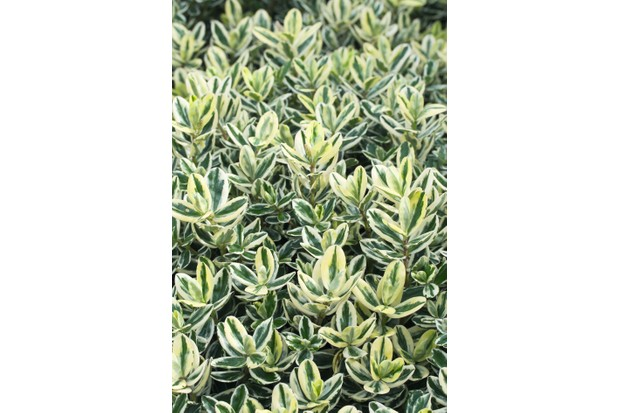 Hebe X Andersonii Variegata is a compact mound of variegated foliage