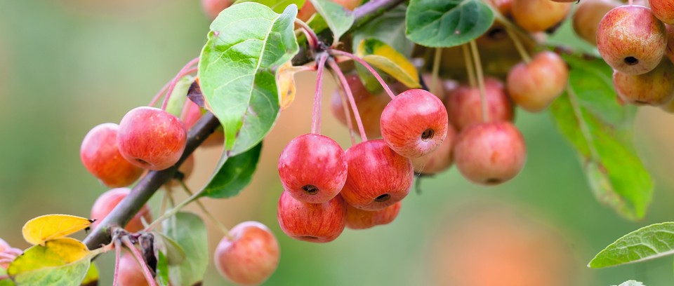 The Best Crab Apple Trees For Colour And Form Gardens Illustrated