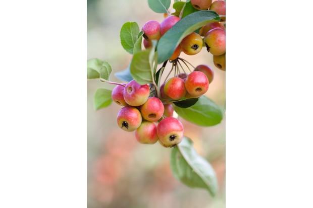 Malus atrosanguinea Gorgeous