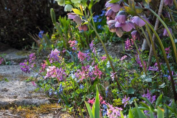 Picture of spring pink Corydalis solida'Dieter Schacht' and Helleborus x hybridus